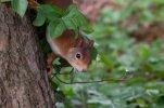 Eichhörnchen_006.jpg