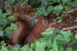 Eichhörnchen_007.jpg